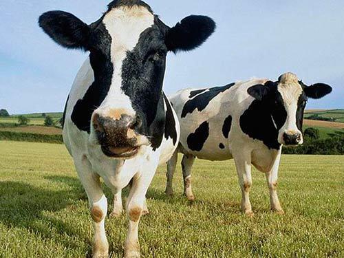 О голштинской породе коров, быков, телят: описание и характеристики, уход
