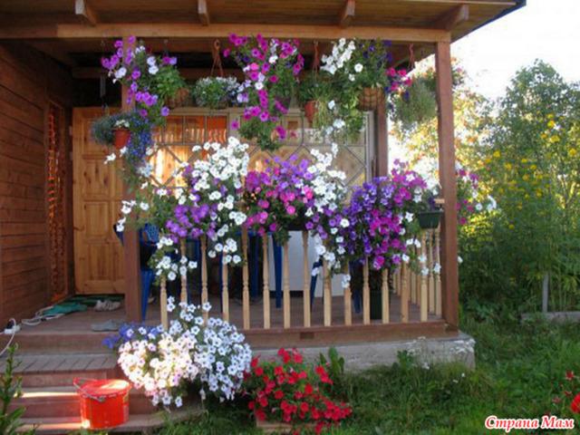 О выращивании петунии дома: как ухаживать за растением в кашпо и вазонах