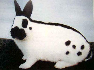 О кролике бабочка: описание и характеристики декоративной породы, разведение