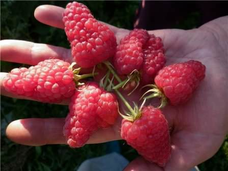 Лучшие сорта малины для средней полосы россии, урала, северо-запада