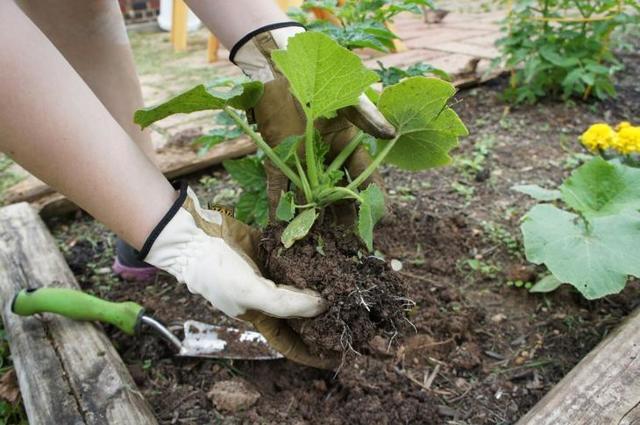 О подкормке тыквы в открытом грунте: правила, удобрения, народные рецепты