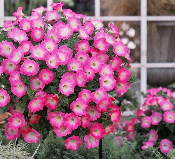 О лучших сортах петунии: название, описание, как выглядят цветы, особенности