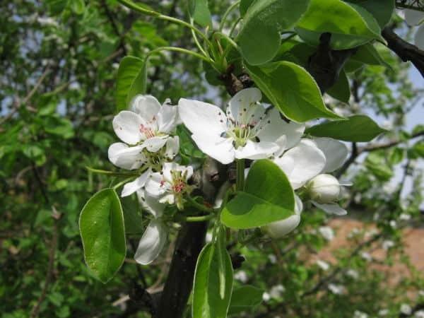 О груше пермячка: описание сорта, агротехника выращивания, особенности ухода