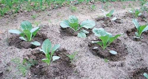 О капусте слава: характеристика и описание белокочанного сорта, как посадить