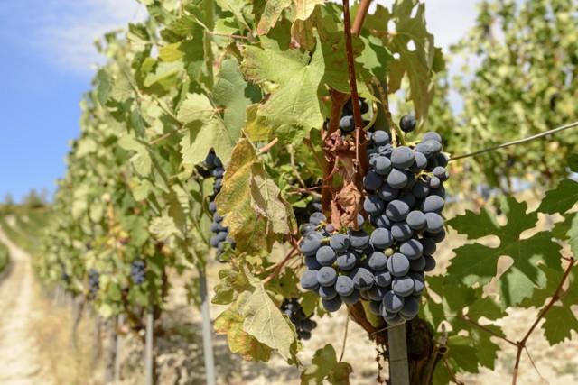 О винограде мукузани: описание и характеристики сорта, посадка и уход