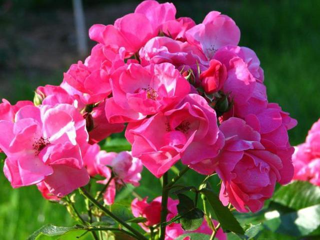 О розе анжела (angela): описание и характеристики сорта чайно гибридной розы