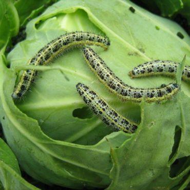 О капустнице: как выглядит капустная белянка, чем питается, какой приносит вред