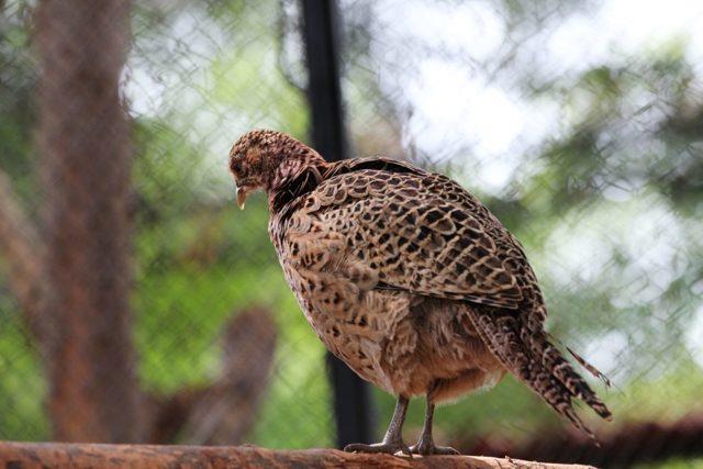 О дикой курице и диком петухе (банкивская джунглевая и цейлонская курицы)