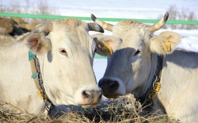 О костромской породе коров (крс): описание и характеристики, содержание, уход