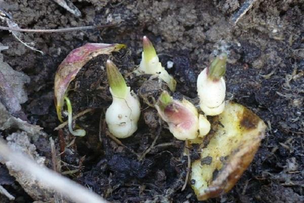 О гибридах лилий (описание сортов, зимостойкость, правила посадки и ухода)