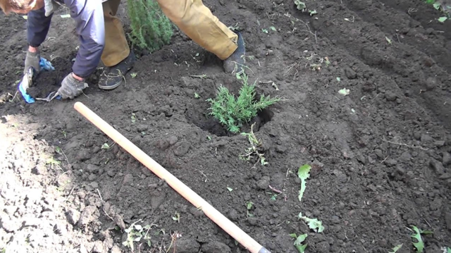 О можжевельнике прибрежный шлягер: описание сорта, как посадить и ухаживать