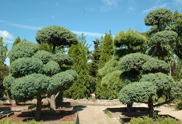 О можжевельнике блю альпс: описание сорта, как посадить и ухаживать