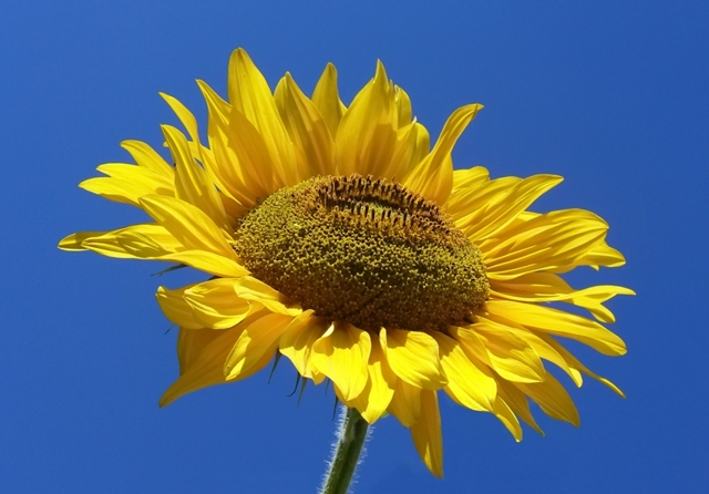 О подсолнечнике: что за растение, как выглядит, где растет, особенности