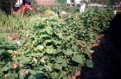 Лучшие сорта малины ремонтантной для подмосковья: самые урожайные