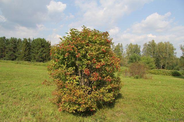 О калине обыкновенной: что это, дерево или кустарник, как выглядит, применение