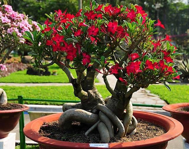 О пустынной розе: уход за адениумом и выращивание в домашних условиях