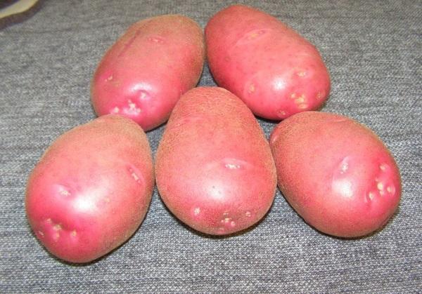 Каменский: описание сорта картофеля, характеристики, агротехника