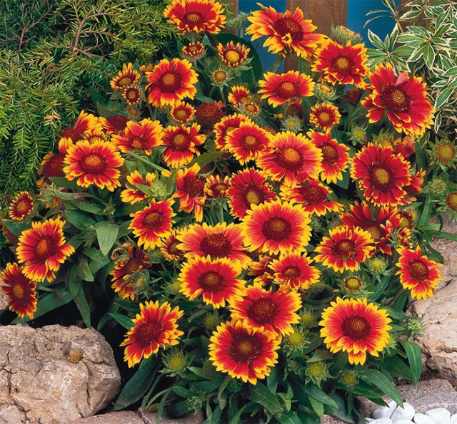 О гайлардии аризона сан: описание, как посадить и ухаживать за растением