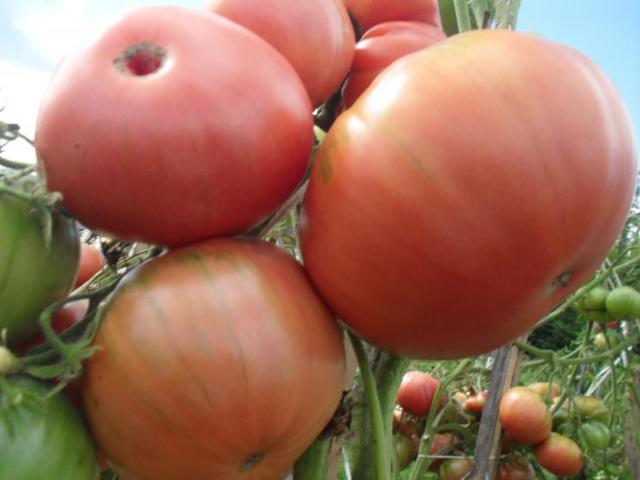 Капитан: описание сорта томата, характеристики помидоров, посев, агротехника