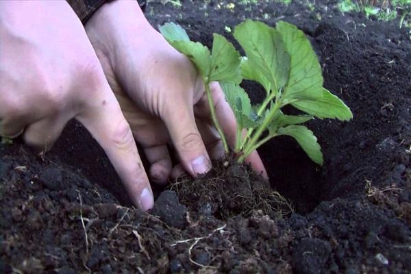 О землянике тоскана: описание и характеристики сорта, посадка, уход, выращивание