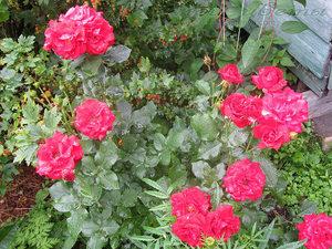 О розе нина вейбул (nina weibull): описание и характеристики, уход и выращивание