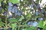 О сливе анна шпет: описание сорта, агротехника выращивания, особенности ухода