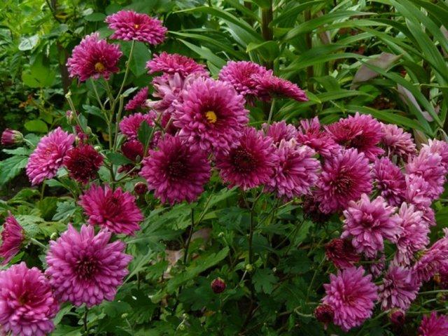 О многолетних цветах для сибири: выращивание морозостойких, неприхотливых сортов