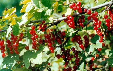 Красная смородина татьяна: описание и характеристики, уход и выращивание