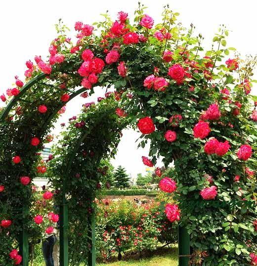 О розе парад (parade): уход за плетистой розой в домашних условиях и на даче