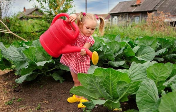 О поливе капусты, как часто и правильно поливать для хорошего урожая