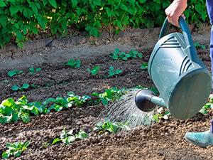 О посадке с фасолью на одной грядке: какие культуры сажать нельзя