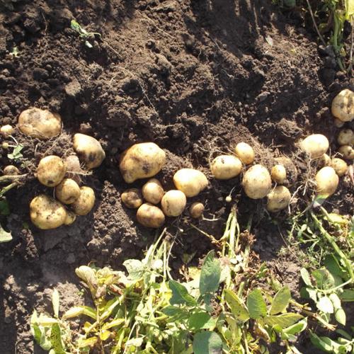 О картофеле метеор: описание раннего семенного сорта, характеристики