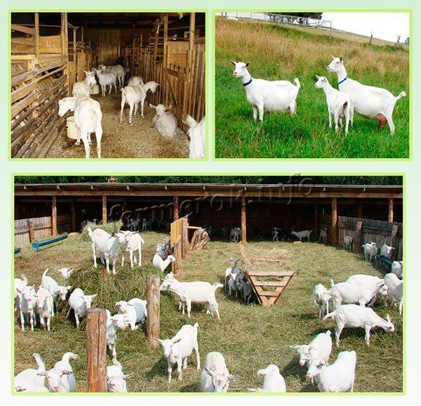 О зааненской породе коз: описание, содержание и уход, кормление, сколько живут