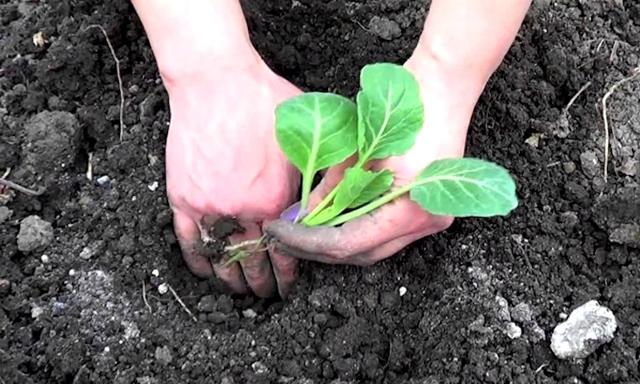 О посадке капусты брокколи в открытый грунт рассадой: когда и как высаживать