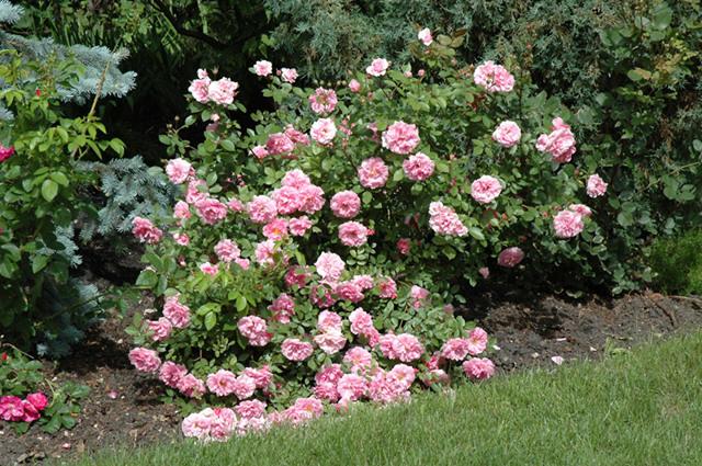 О розе morden blush: описание и характеристики сорта канадской парковой розы