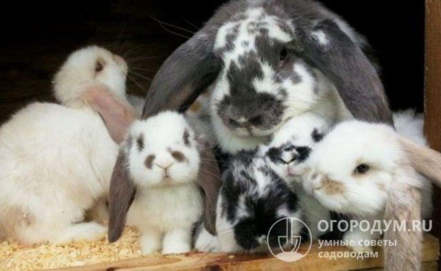 О кролике баране: характеристика и описание породы, содержание и разведение
