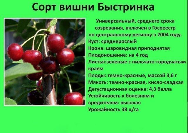 О вишне быстринка: характеристика и описание сорта, способы выращивания