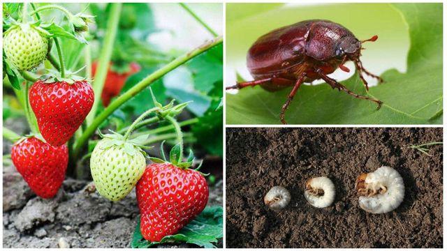 О личинках майского жука на клубнике: как избавиться от личинок, как бороться