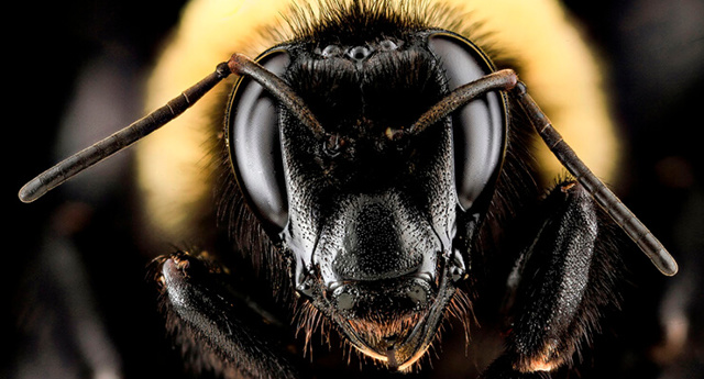 О пчелах убийцах: африканизированная пчела, африканская оса, самая опасная пчела
