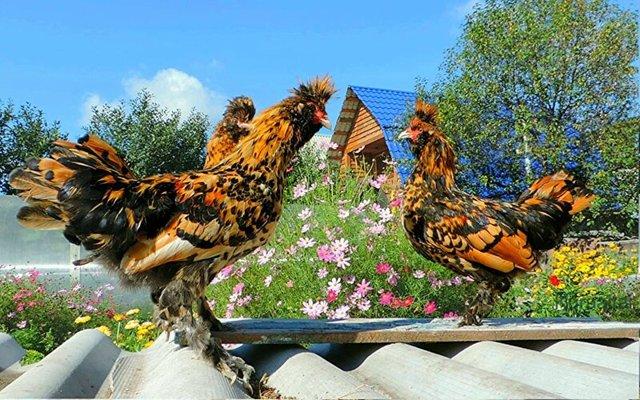 О курах павловских: характеристики породы, разведение, содержание поголовья
