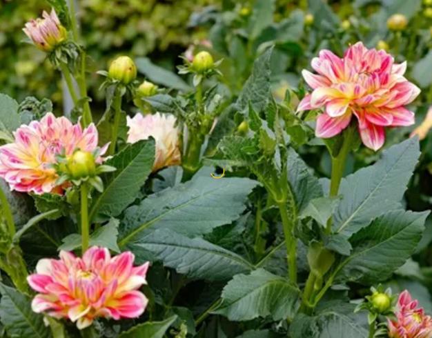 О подкормке георгин во время цветения: удобрения, как подкармливать