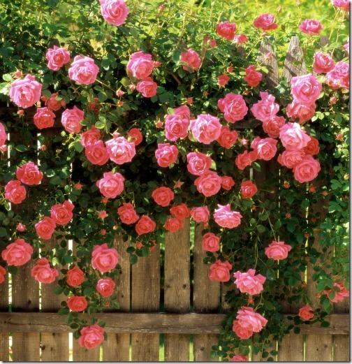 О розе palais royal: описание и характеристики, выращивание сорта плетистой розы