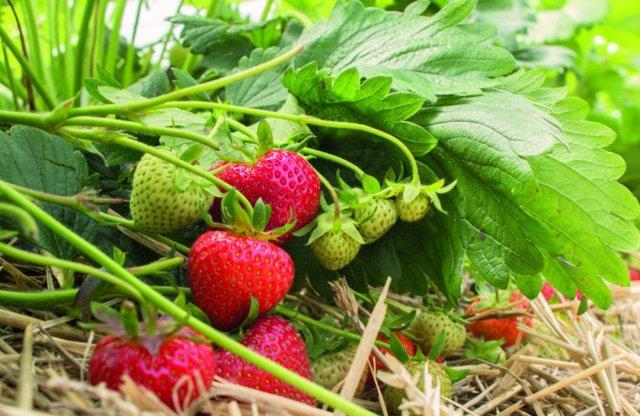О клубнике эльсанта: описание и характеристики сорта, посадка, уход, выращивание
