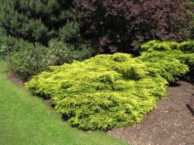 О можжевельнике голд стар: описание сорта, разновидности и характеристики