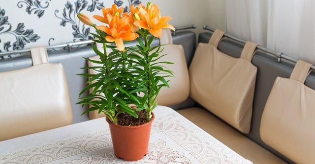 О луковицах лилий (как сохранить до посадки весной в домашних условиях)