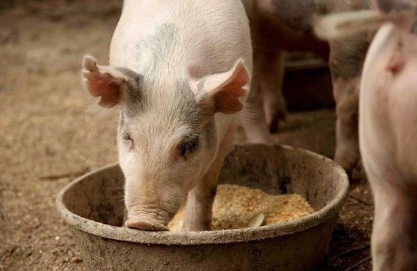 О кормлении поросят от одного до шести месяцев: чем кормить, рацион