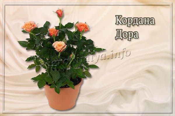 О розе kordana: описание и характеристики сорта, уход и выращивание