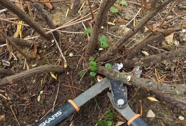 Красная смородина: правила обрезки весной, формирование куста (схема)