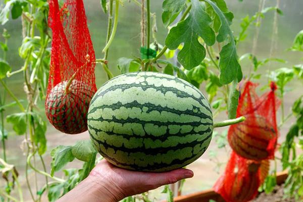 Как посадить, ухаживать, подвязывать арбузы в теплице из поликарбоната