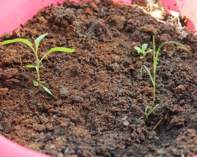 О выращивании фуксии из семян: как посадить и вырастить растение дома